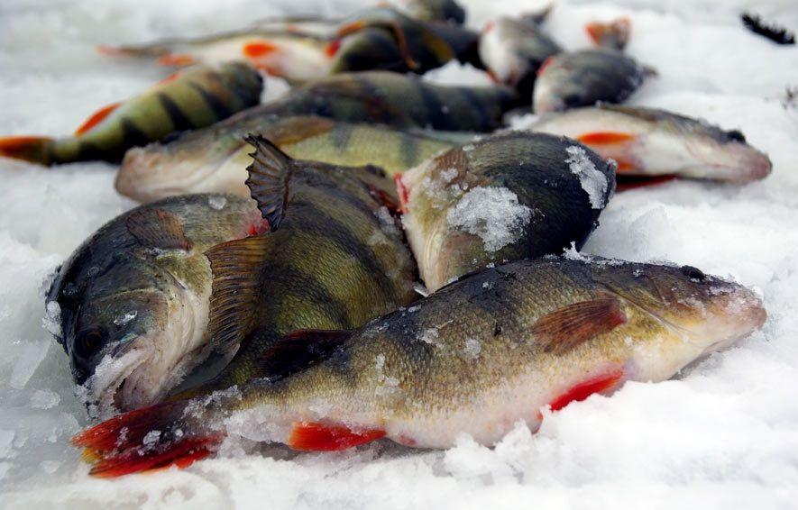 Зимняя ловля окуня: сочетание жерличной ловли и блеснения