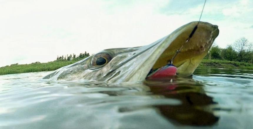 Щуки малых рек, что нужно знать, отправляясь на рыбалку