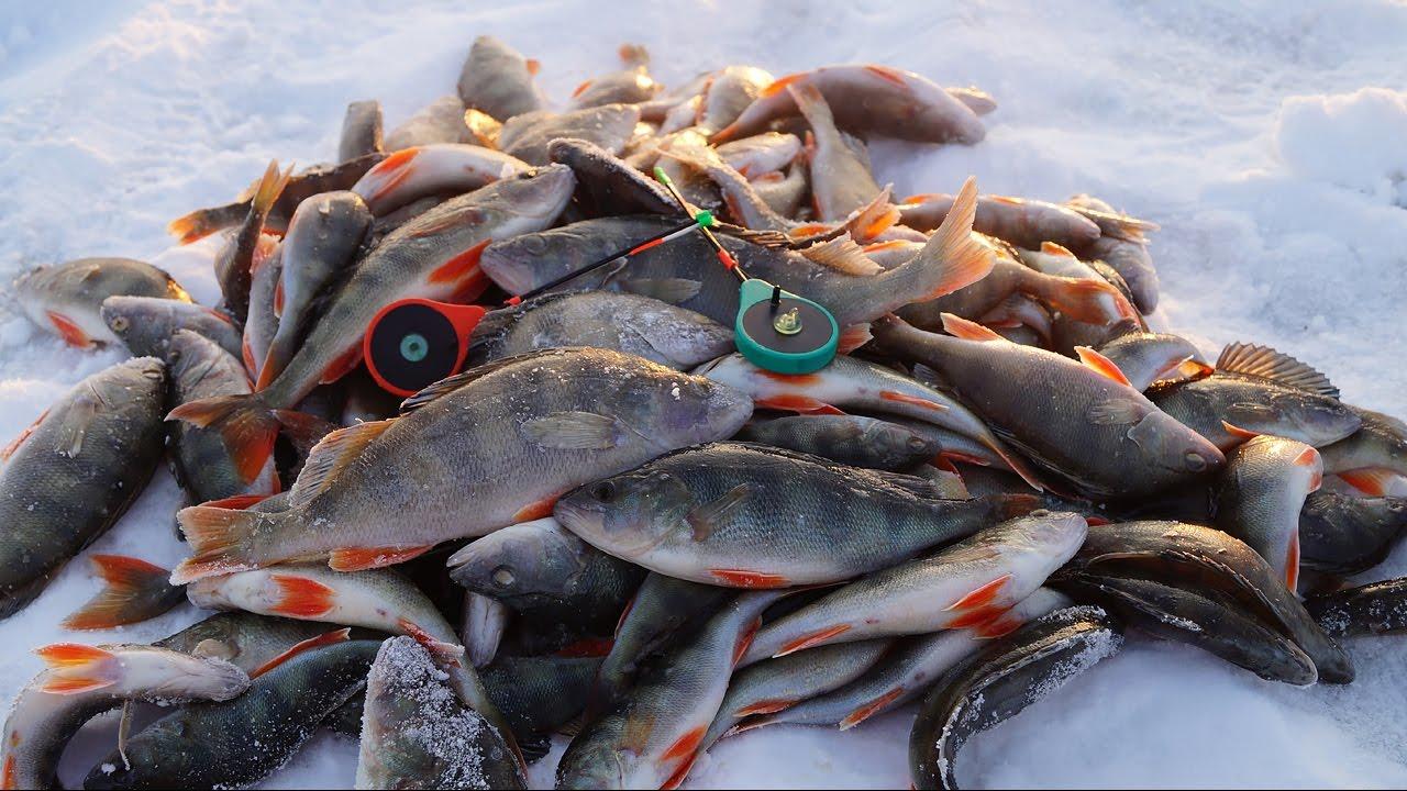 Окуневая рыбалка зимой: перспективные места, снасти и приманки, техника ловли