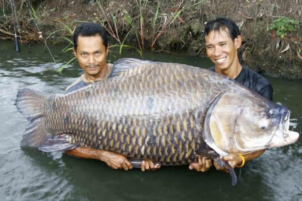 Мировой рекорд: Сиамский карп-гигант весом 120 кг