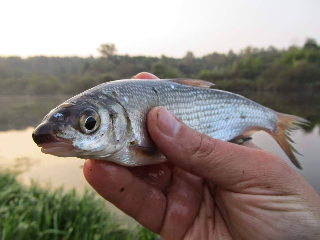 Сырть: а вы про такую рыбу знаете?
