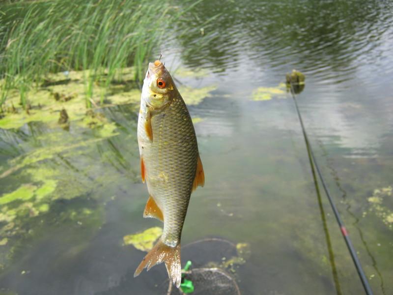 Ловля плотвы летом, секреты успешной рыбалки