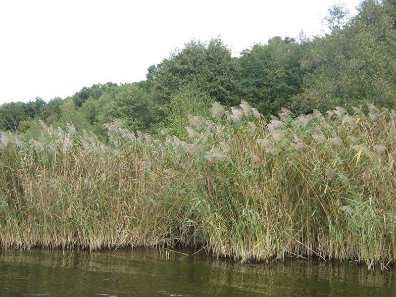 Определяем наличие крупной рыбы в водоеме по тростнику