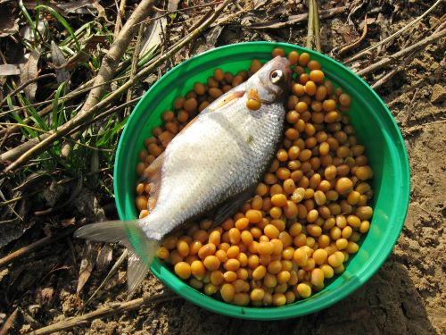 Ловля рыбы на люпин