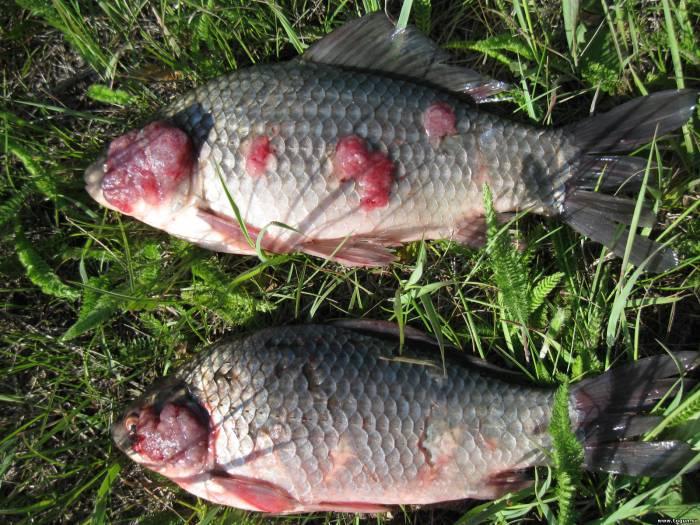 Болезни и паразиты у речных рыб