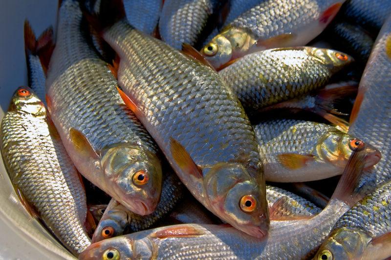 Осенняя плотва. Поведение рыбы и изменения в ловле