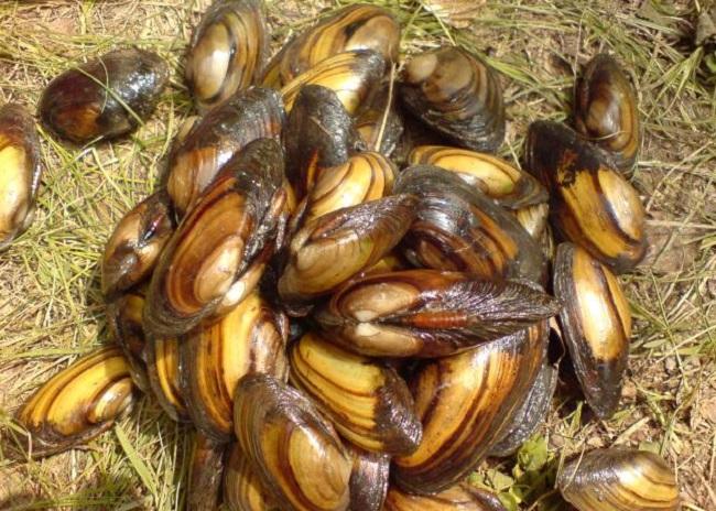 Речные мидии — как наловить и приготовить деликатес