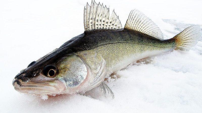Особенности зимней рыбалки на судака