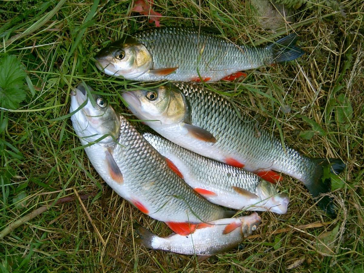 Как наловить много голавля: важные мелочи, полезные советы и рыбацкие хитрости