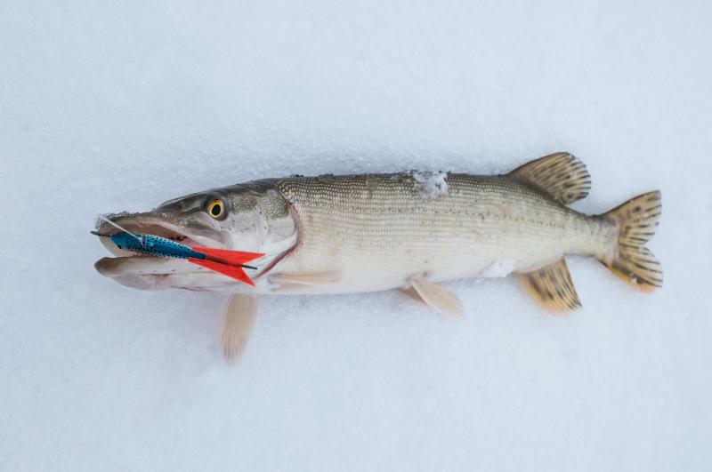 Балансиры ловят, когда жерлицы молчат: как правильно ловить щуку на балансир зимой