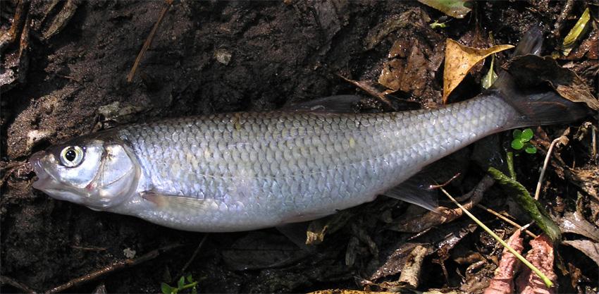 Рыбачим весной. Елец