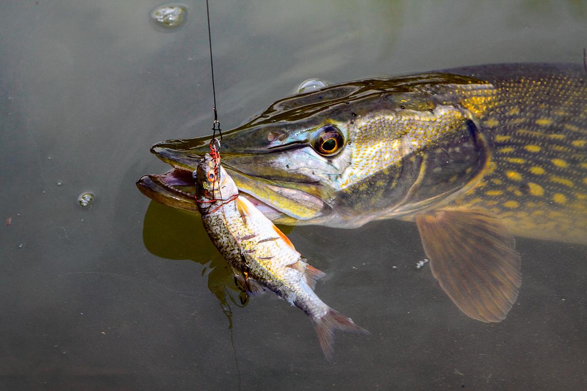 Летняя рыбалка. Щука на живца