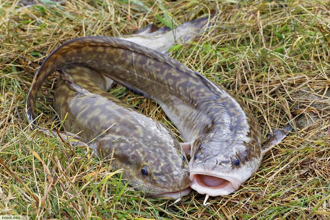 Весенняя рыбалка на налима