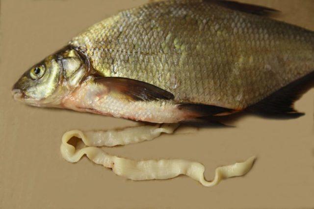 Солитерный червь в рыбе