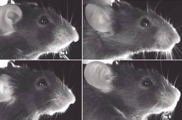 И у мышей есть мимика