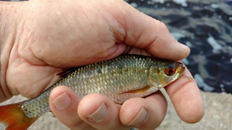 Что делать, когда мелкая рыба мешает ловить крупную