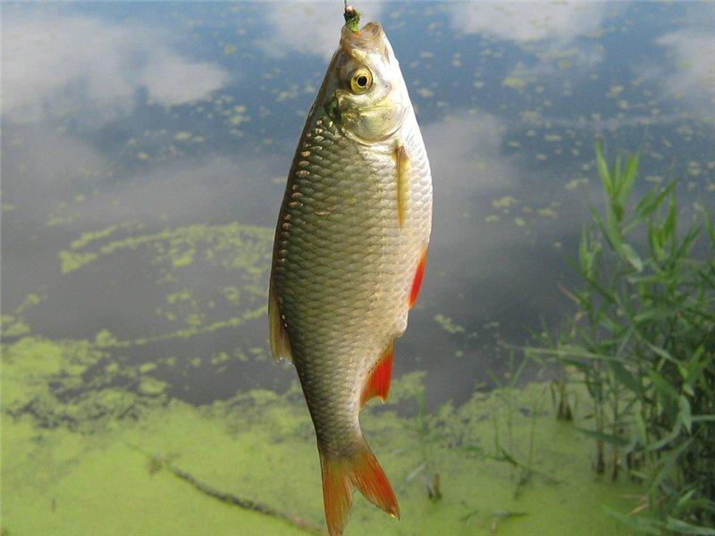 Летняя рыбалка. Ловля красноперки на поплавочную удочку
