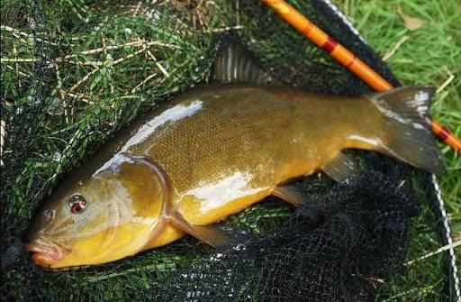 Как клюет линь и момент подсечки рыболовом