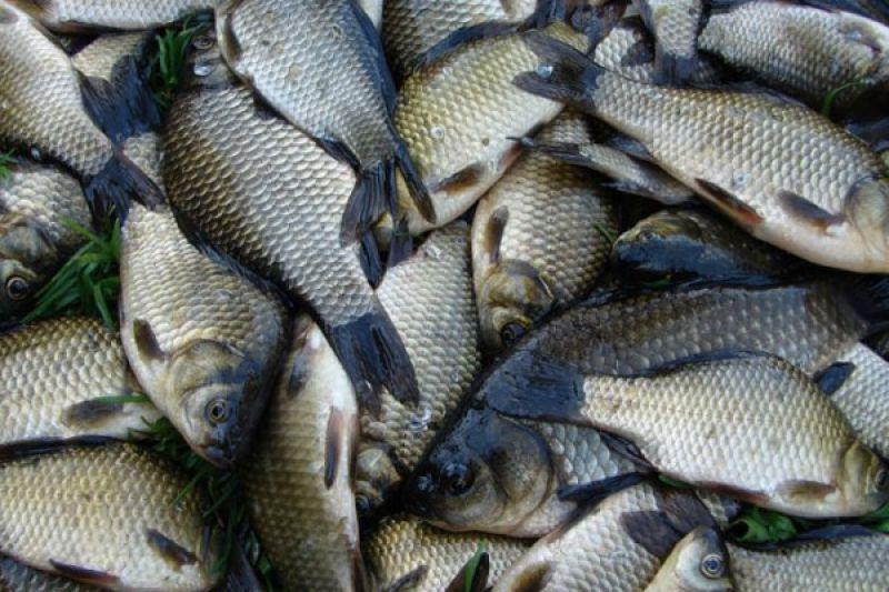 Ловим карасей. Режим питания рыбы