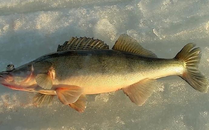 Судак зимой на мормышку с подсаженной рыбкой