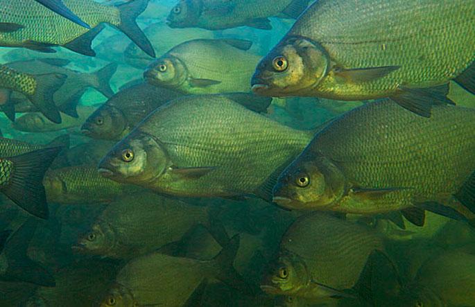 Пресноводная рыба в морских водоемах