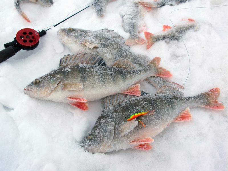 Озерный окунь – секреты успешной ловли в зимнее время года
