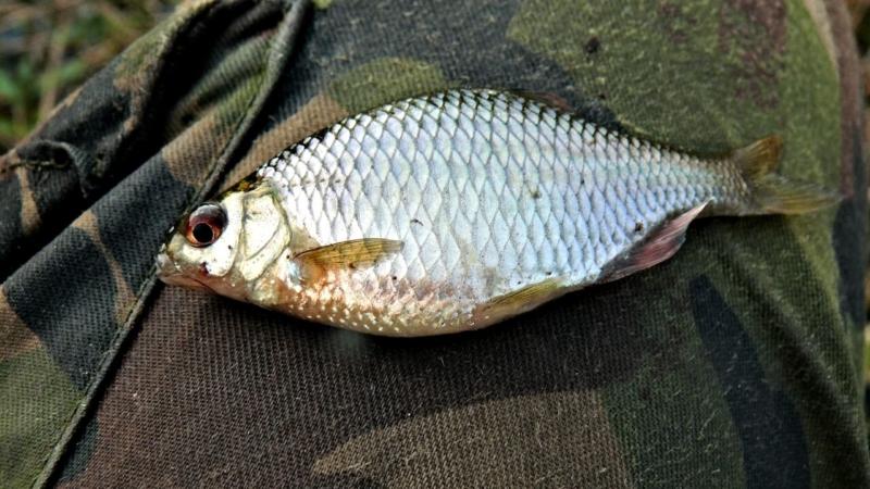 Рыба горчак: на что клюет, где обитает и как ловить