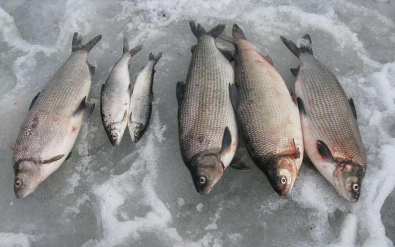 Особенности зимней рыбалки на сига