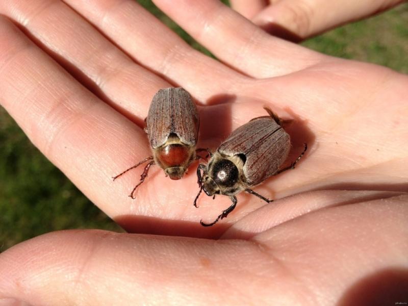 Особенности ловли рыбы на майского жука